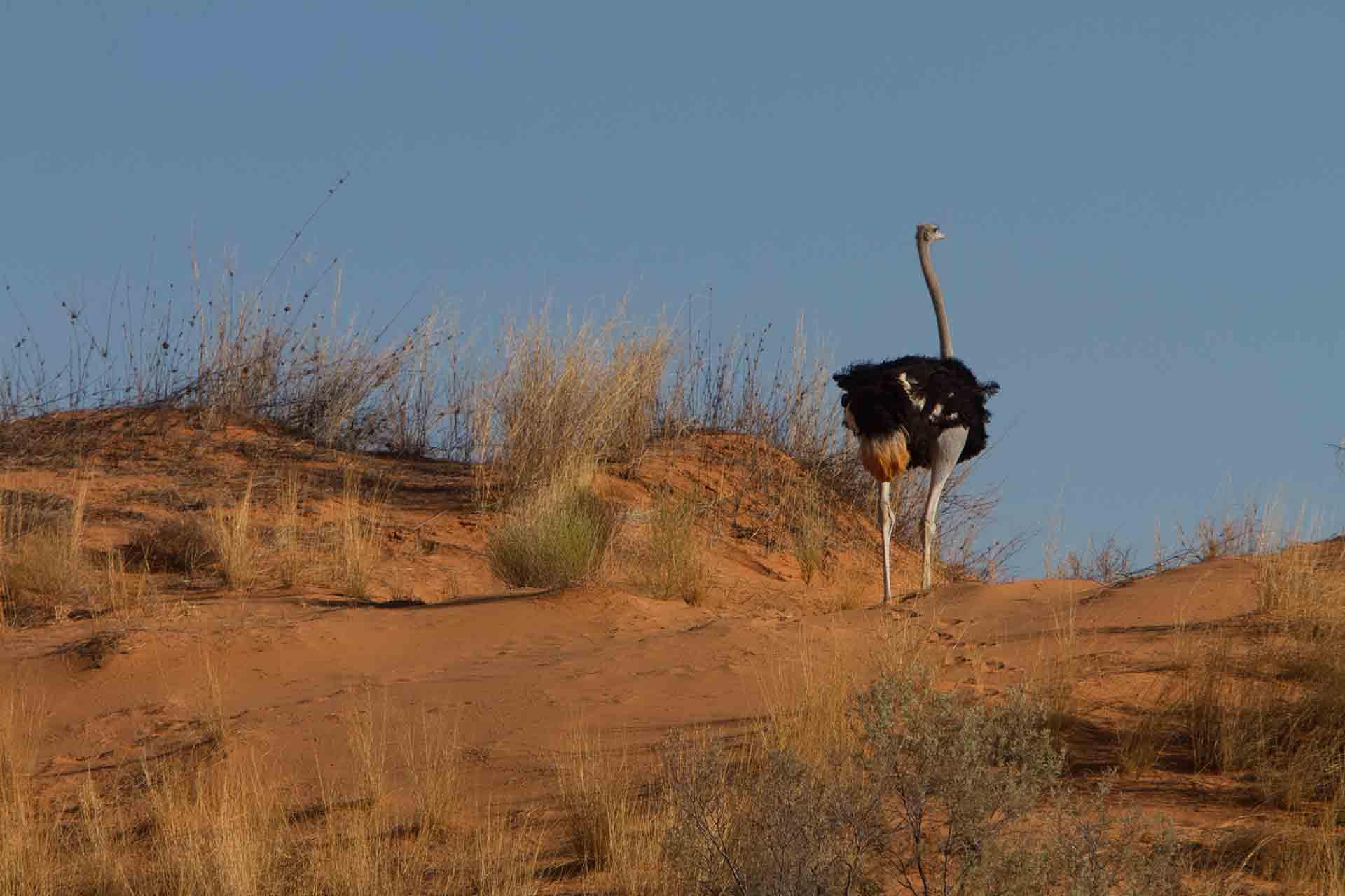 Autruche - Kalahari
