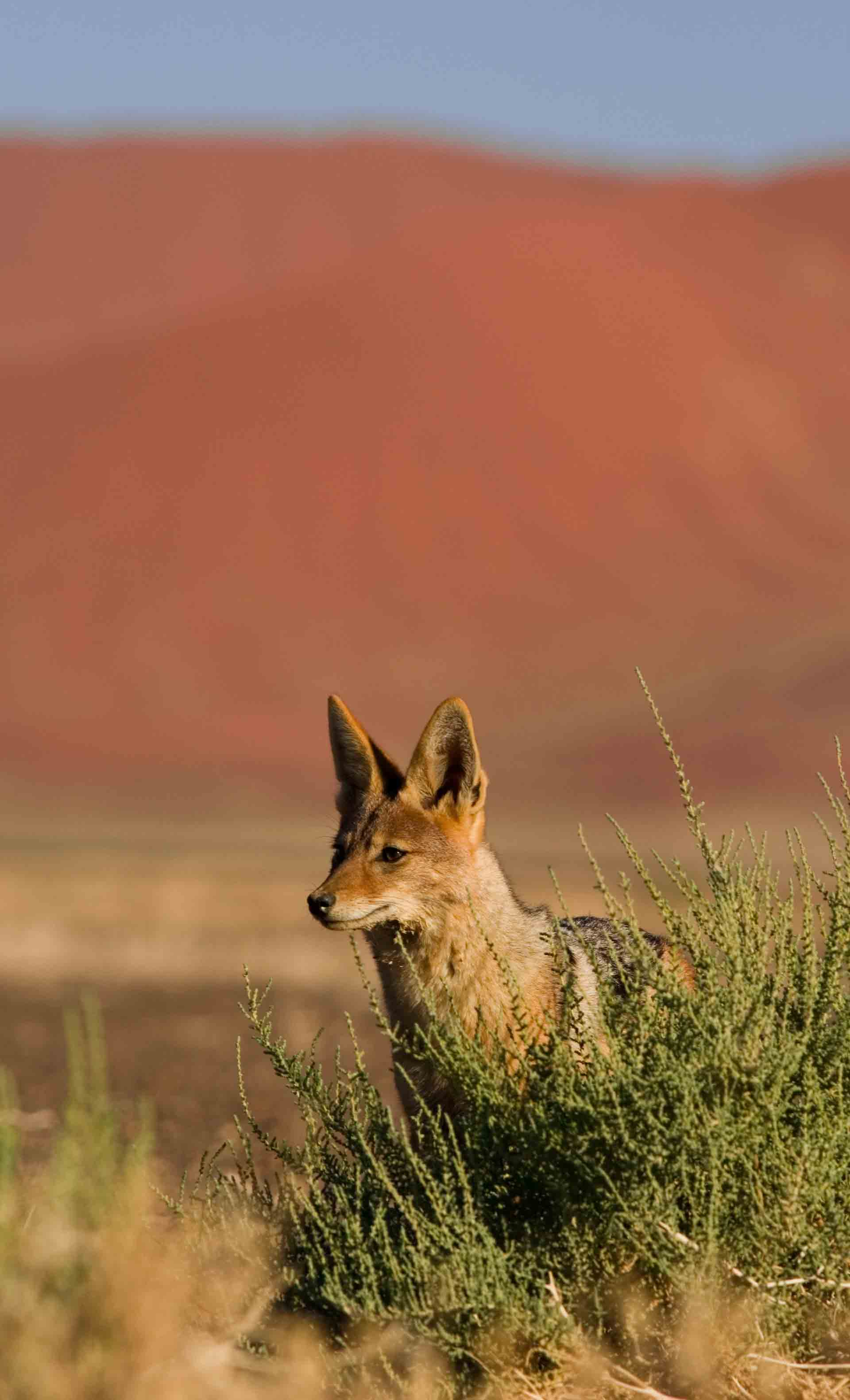 Chacal - Namibie