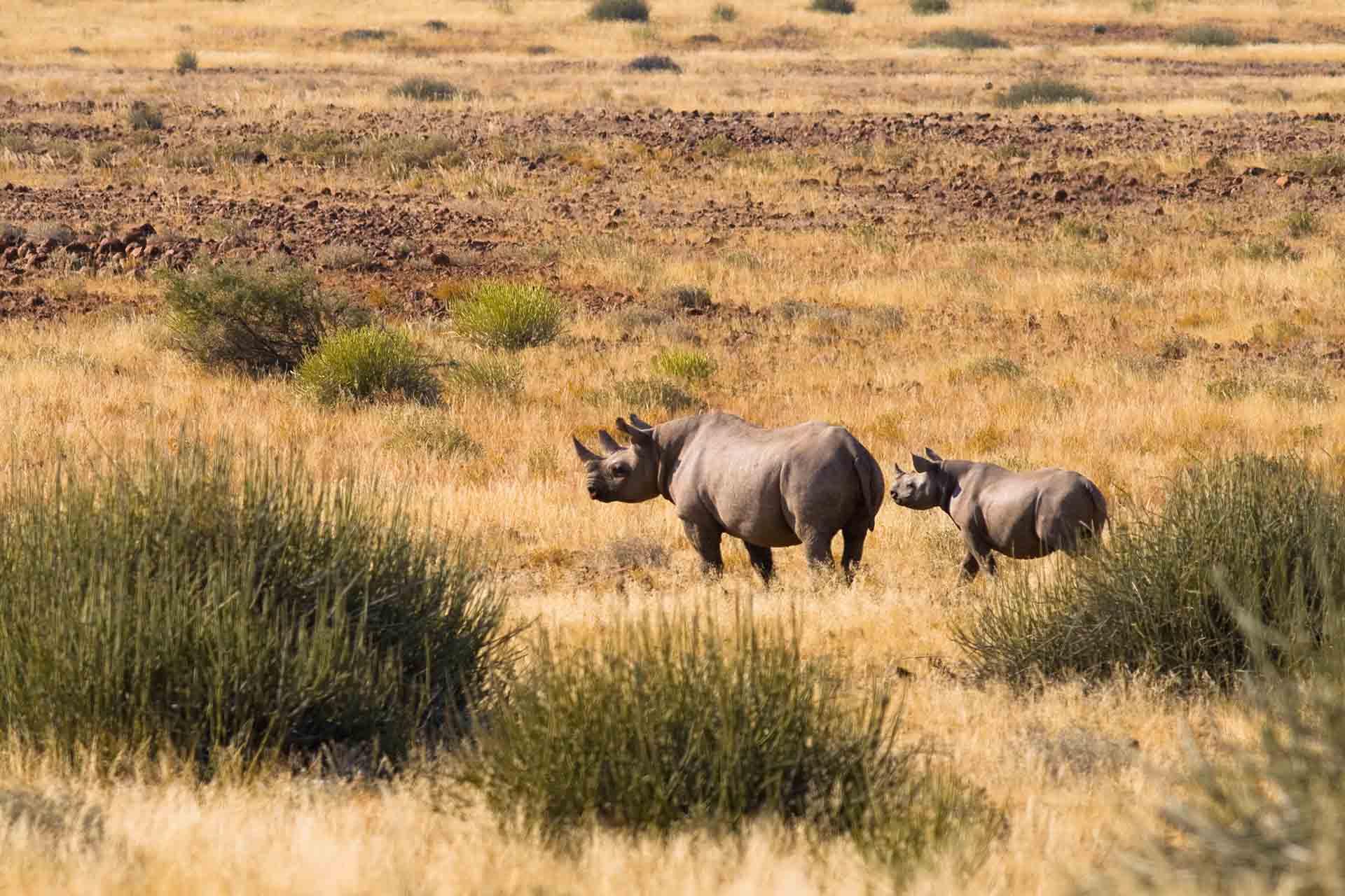Rhino - Damaraland - Namibie