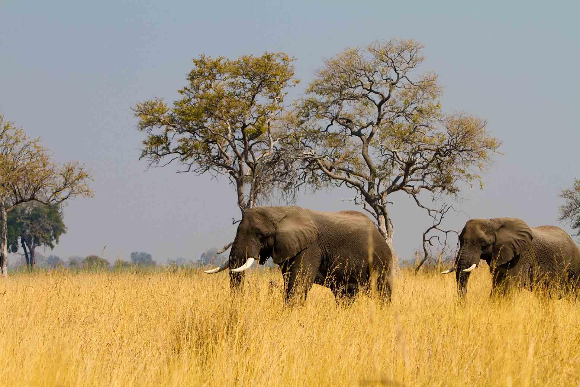 Eléphants - Botswana