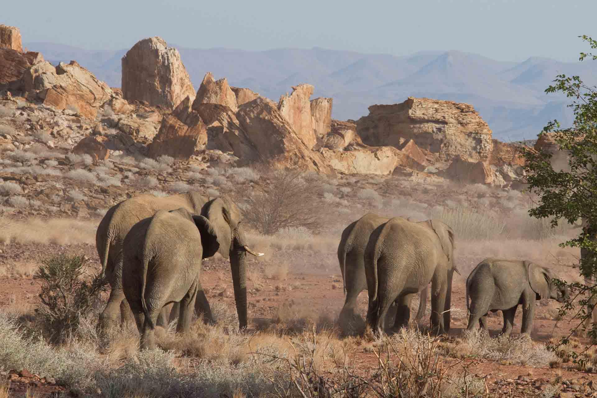 Eléphants du désert - Damaraland - Namibie