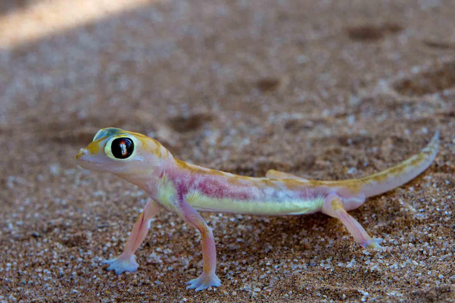 Gecko - Namibie