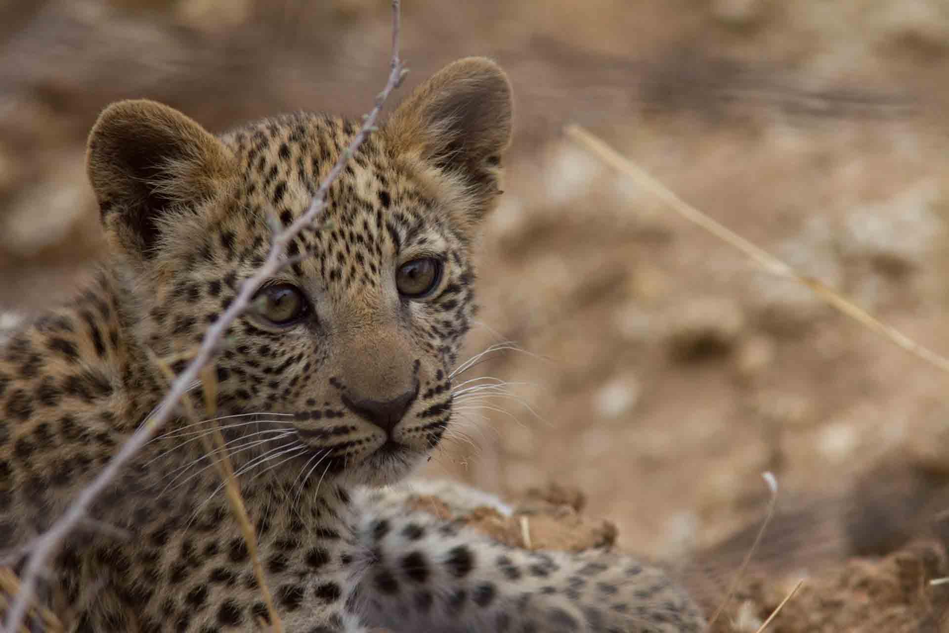 Léopard - Namibie
