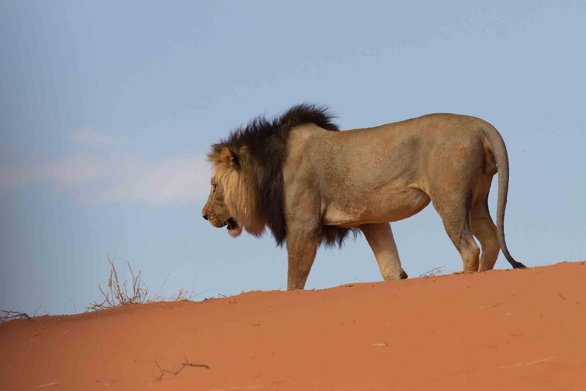 Lion - Kalahari