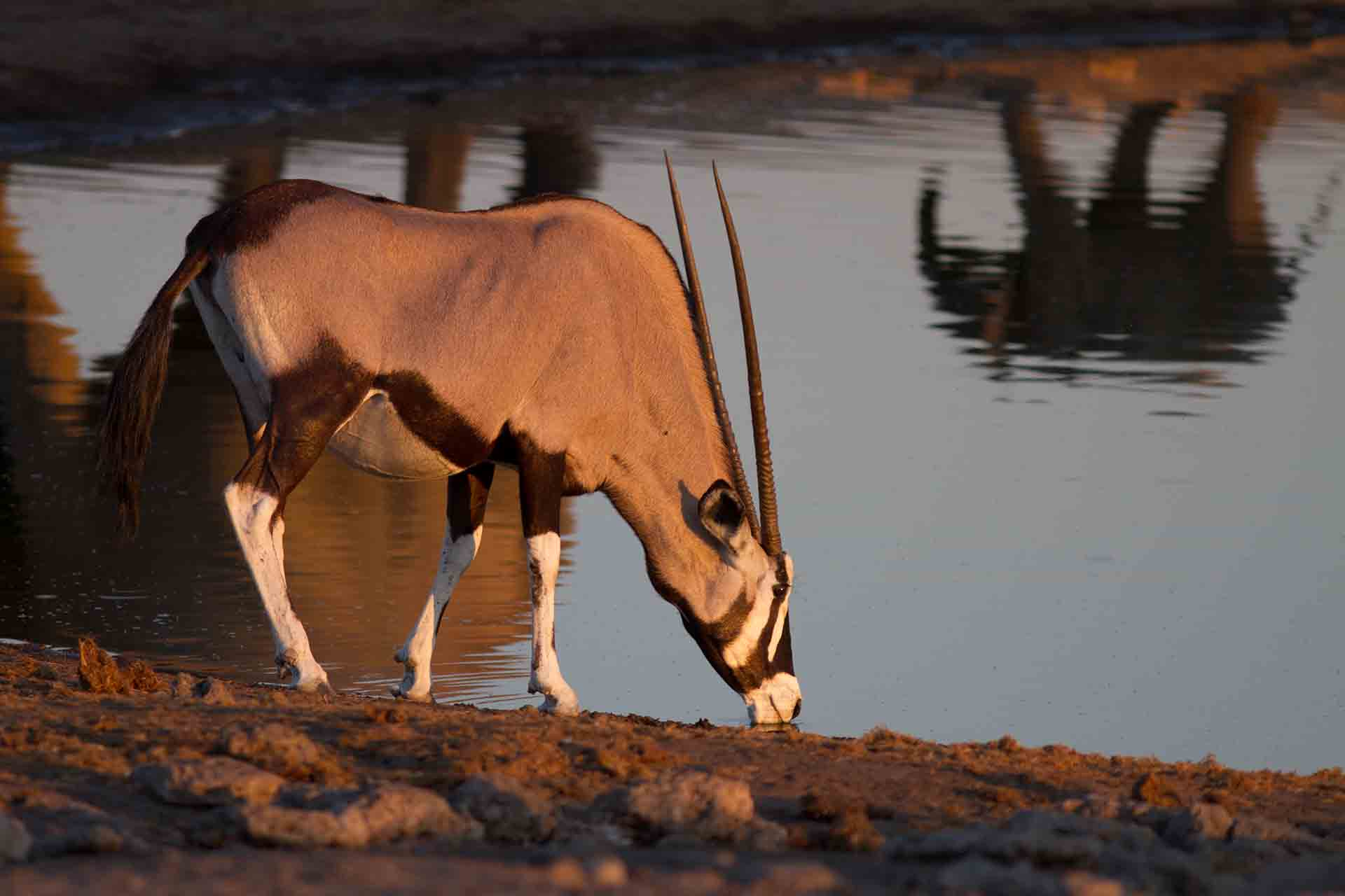 Oryx - Namibie