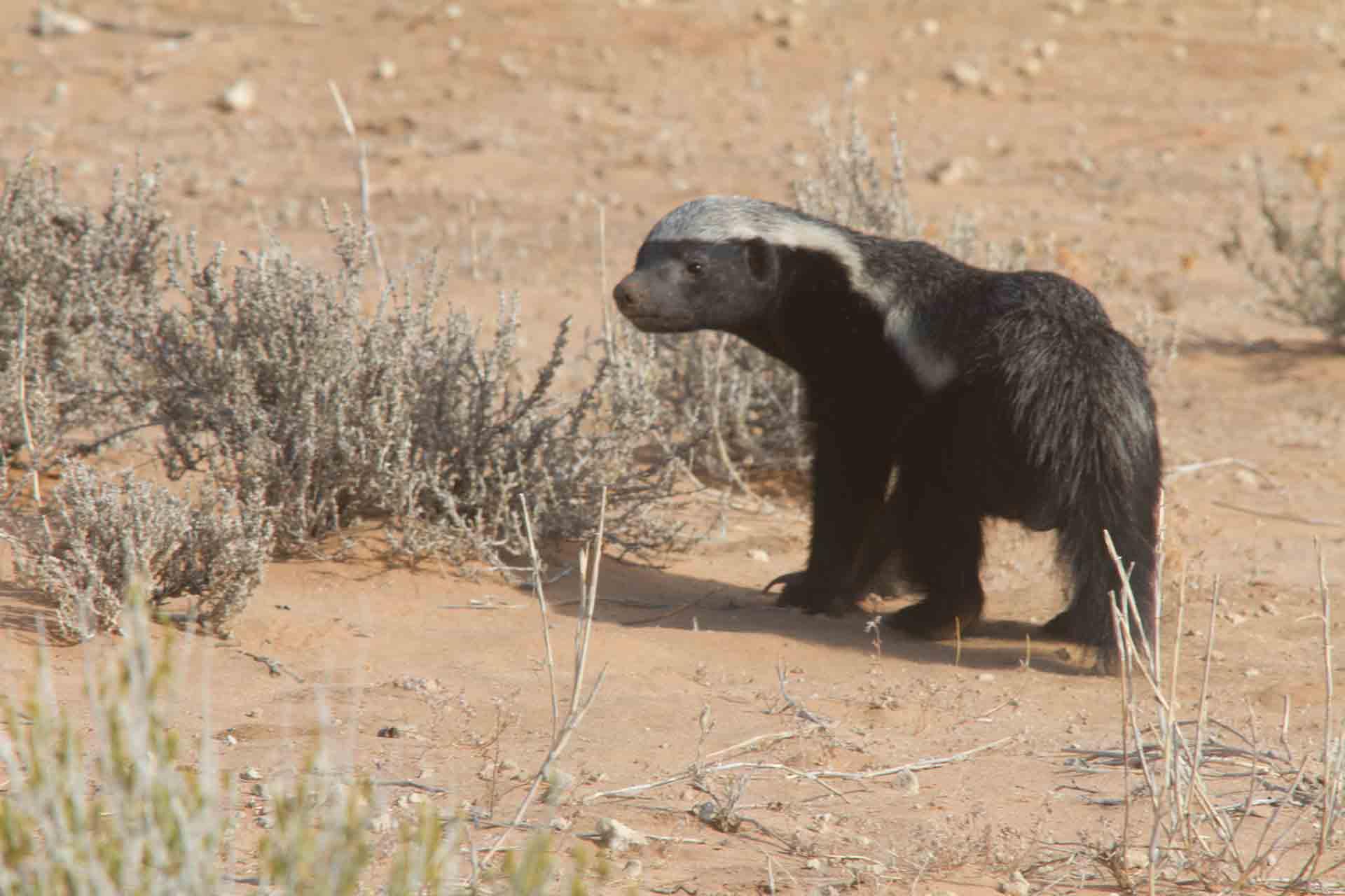 Ratel - Namibie