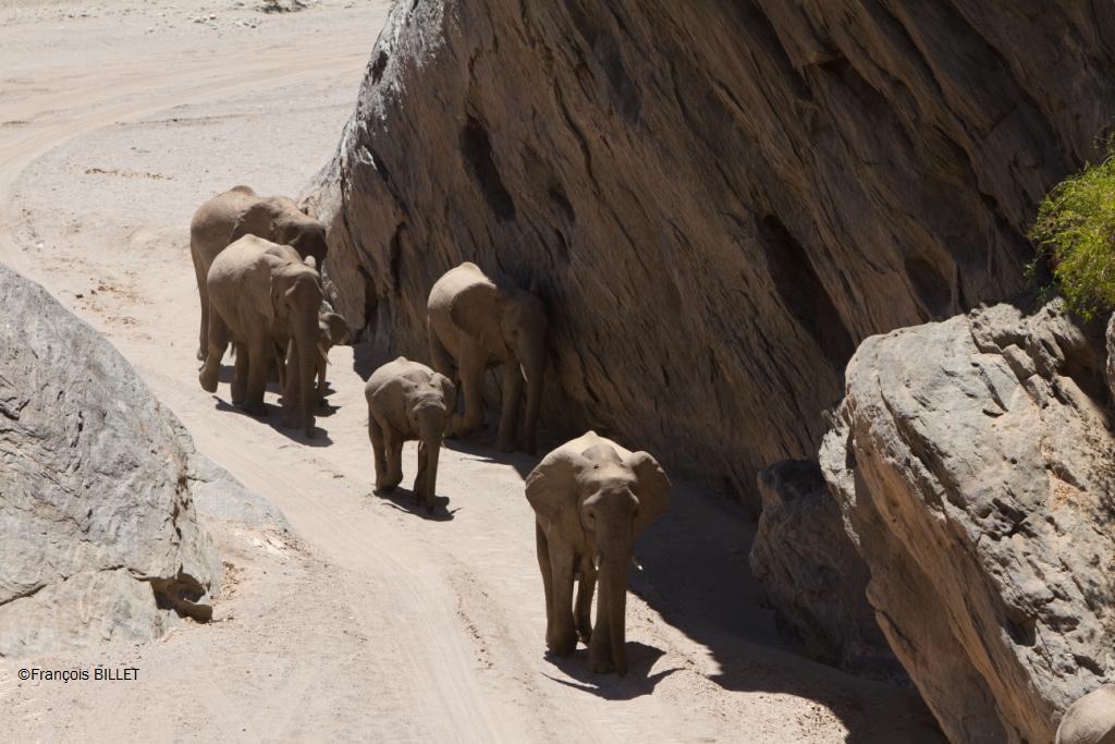 Elephants de désert - Damaraland - Namibie